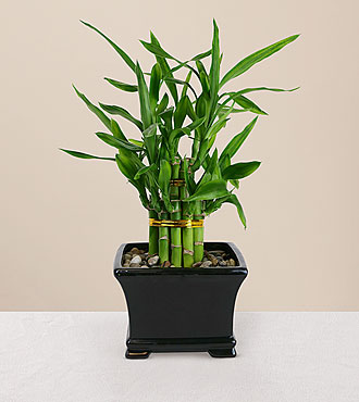 double lucky bamboo. Black Bedroom Furniture Sets. Home Design Ideas
