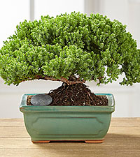 Small Wonders Juniper Bonsai