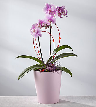 Love Story Valentine Orchid
