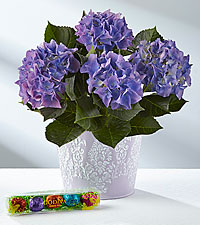 Spring Welcome Easter Hydrangea Plant with Godiva ® Chocolate Eggs