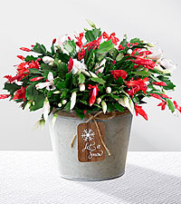Let It Snow Christmas Cactus