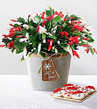 Let It Snow Christmas Cactus with Cookies