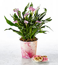 Tell It to My Heart Valentine 's Day Calla Lily Plant with Chocolate Covered Pretzels