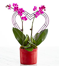 It Takes Two Valentine 's Day Orchid