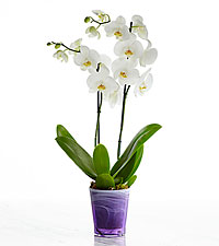 Simple Beauty Orchid