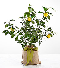 Citrus Sightings Lemon Tree
