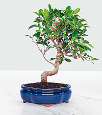 Golden Gate Ficus-8in