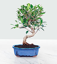 Golden Gate Ficus-10in