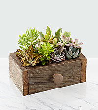 Drawer of Dreams Succulent Garden