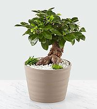 Serene Living Ficus Ginseng Bonsai