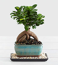 Ginseng Grafted Ficus Bonsai