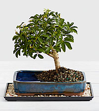Hawaiian Umbrella Tree Bonsai Dishgarden