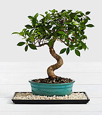 Deluxe Golden Gate Ficus Tree Bonsai