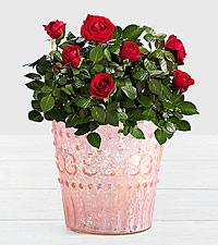 Potted Red Roses in Vintage Pink Mercury Glass
