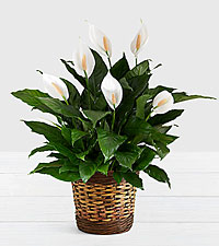 Deluxe Sympathy Peace Lily in Woven Basket