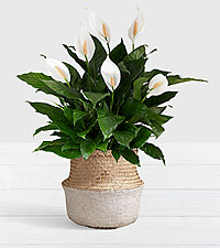 Deluxe Sympathy Peace Lily in White Dipped Belly Basket