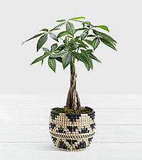 Braided Money Tree in Muted Triangle Print Basket