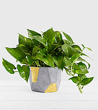 Golden Pothos–Tabletop Plant in Gold & Grey Geo Planter