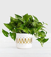 Golden Pothos–Tabletop Plant in Mid Century Ceramic