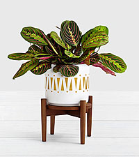 Pink Prayer Plant with Mid Century Plant Stand
