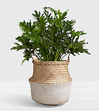 Lacy Leaf Philodendron– Floor Plant in White Dipped Belly Basket