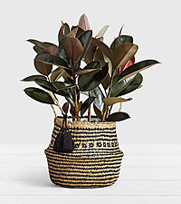 Rubber Tree in Diamond Print Belly Basket