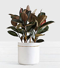 Rubber Tree Floor Plant in Mid Century Planter