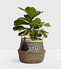 Fiddle Leaf Fig Tree in Diamond Print Belly Basket
