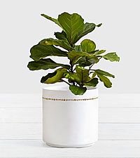 Fiddle Leaf Fig Tree Floor Plant in Planter