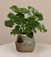 Monstera - Floor Plant in Diamond Print Belly Basket