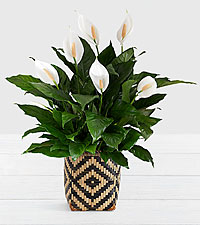 Peace Lily - Floor Plant in Diamond Print Basket