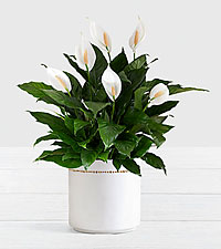 Peace Lily – Floor Plant in Mid Century Planter