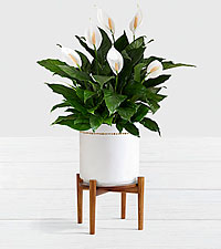 Peace Lily - Floor Plant with Stand