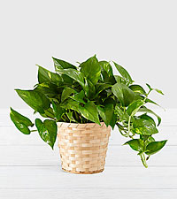Golden Pothos–Tabletop Plant