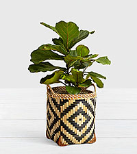 Fiddle Leaf Fig Tree - Floor Plant in Diamond Print Basket