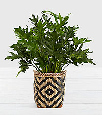 Lacy Leaf Philodendron–Floor Plant in Diamond Print Basket