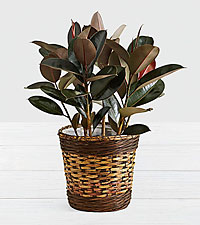 Rubber Tree - Floor Plant