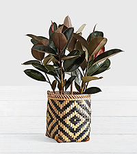 Rubber Tree - Floor Plant in Diamond Print Basket