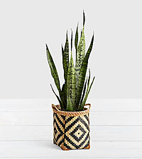Snake Plant - Floor Plant in Diamond Print Basket