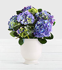 Potted Blue Hydrangea in Ceramic Cream Urn