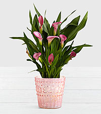 Potted Pink Calla Lily in Pink Mercury Glass Vase