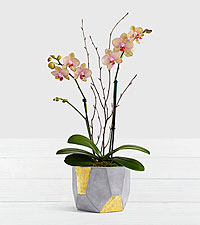 Potted Double Stem Kaleidoscope Orchid in Geo Clay Pot