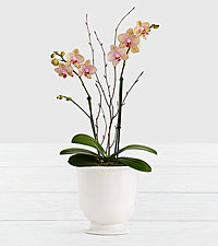 Potted Double Stem Kaleidoscope Orchid in Cream Urn