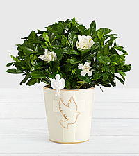 Peace of Heart Gardenia with Angel