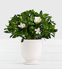 Potted Fragrant Gardenia in Ceramic Cream Urn
