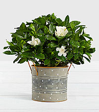 Potted Fragrant Gardenia in Farmhouse Tin