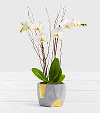 Potted Double Stem White Orchid in Gold & Grey Geo Pot