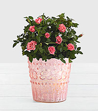 Potted Pink Roses in Pink Mercury Glass Vase