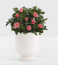 Potted Pink Roses in Ceramic Cream Urn