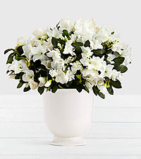 Potted White Azalea in Ceramic Cream Urn